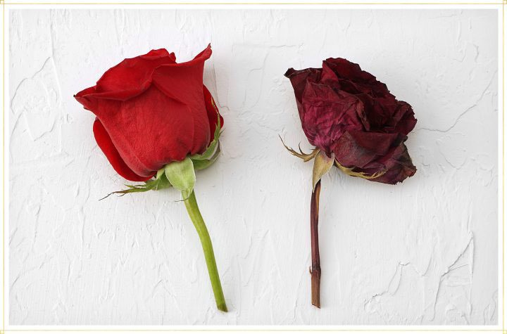 comparison of live rose to dried rose